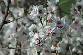 tu b'shevat almond tree