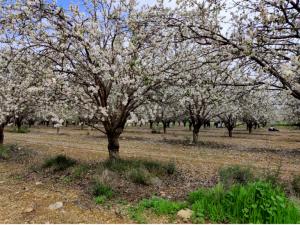 Tu B'Shevat Almond Tree Shekiya